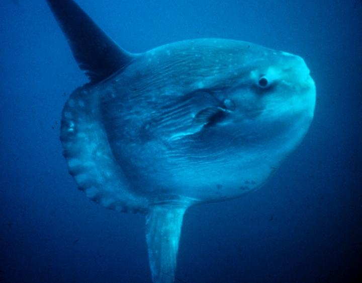 Ayla Güneşin Balığı – Denizlerin Dev CismineDair