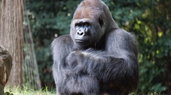 Bir Gorilin Biyografisi – Hanabiko'nun İç Isıtan Yaşamı ve Gorillerde DefinDavranışı