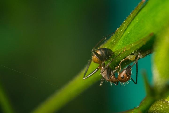 Hortlak Mantar Gazabı – Karıncalara HükmedenMantarlar